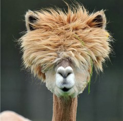 Alpacas with the Most Amazing Hair.jpg